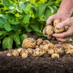 Are Potatoes Vegetables? What You Need to Know Before Growing Them