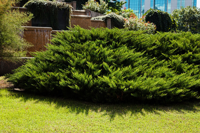 What Are The Top Evergreen Shrubs For Landscaping